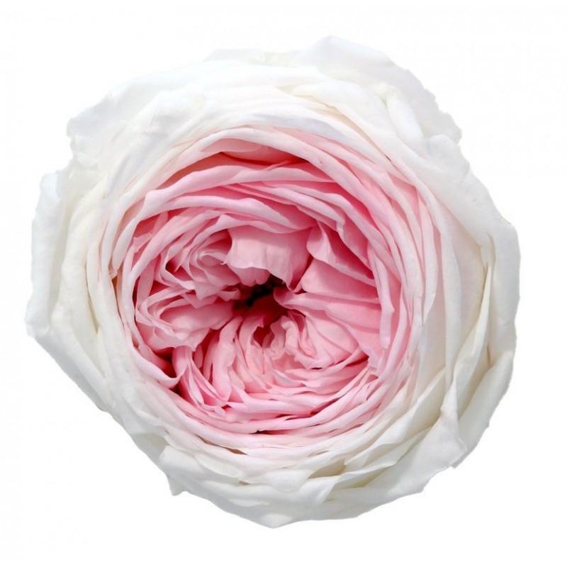Rose de jardin stabilisée Extra Boite de 6 têtes Bicolore Rose et Blanc