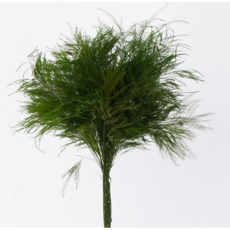 Asparagus stabilisé 40-50cm Vert