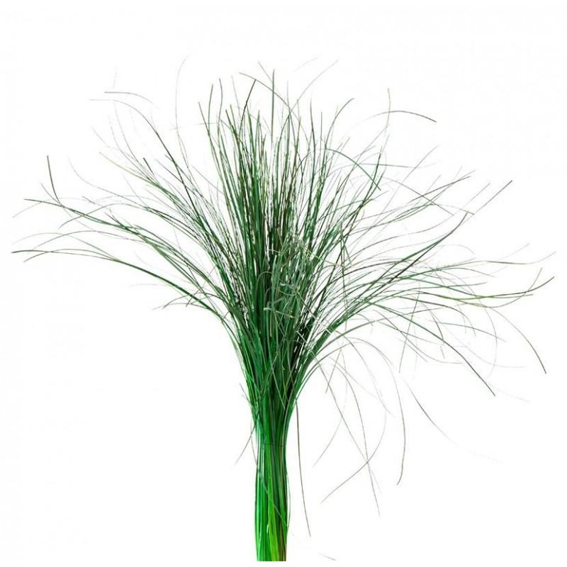 Beargrass stabilisé 50-60cm Vert