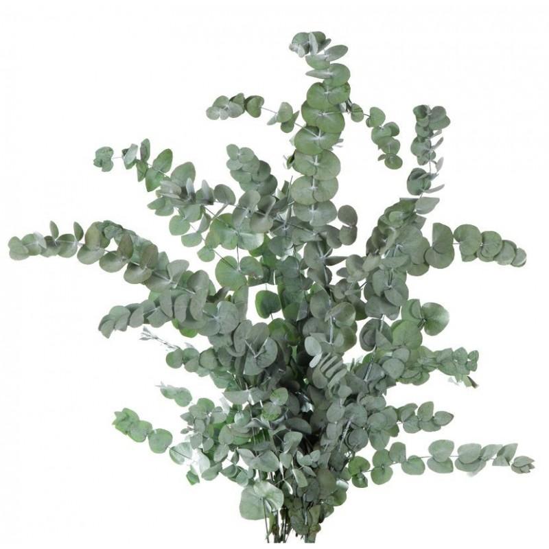 Eucalyptus stabilisé 40-80 cm Vert