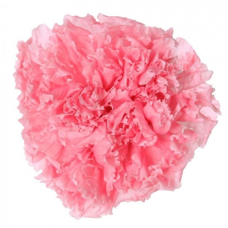 Oeillet stabilisé Boite de 6 têtes Rose pastel