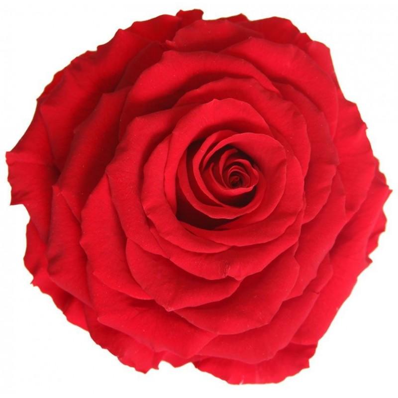 Rose stabilisée XXL King Rouge