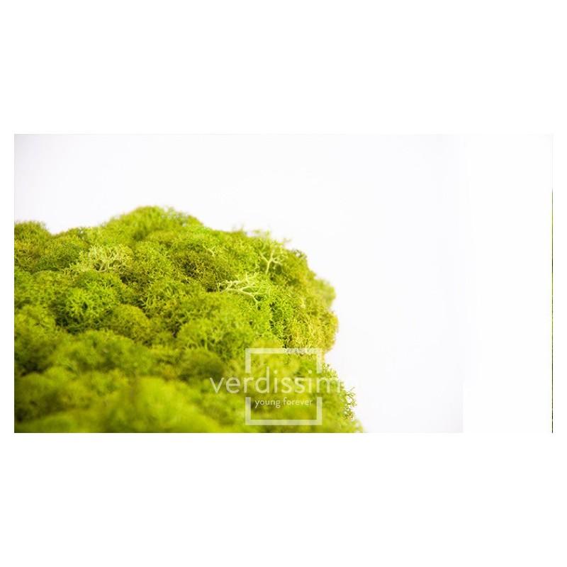 Lichen stabilisé Boite de 500g Vert