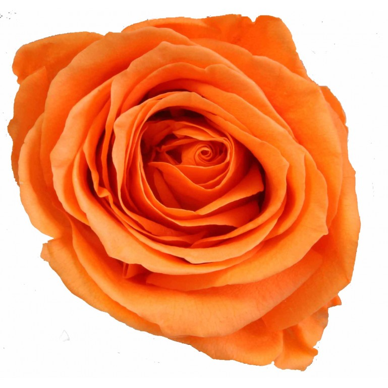 Rose stabilisée Standard Boite de 6 têtes Orange