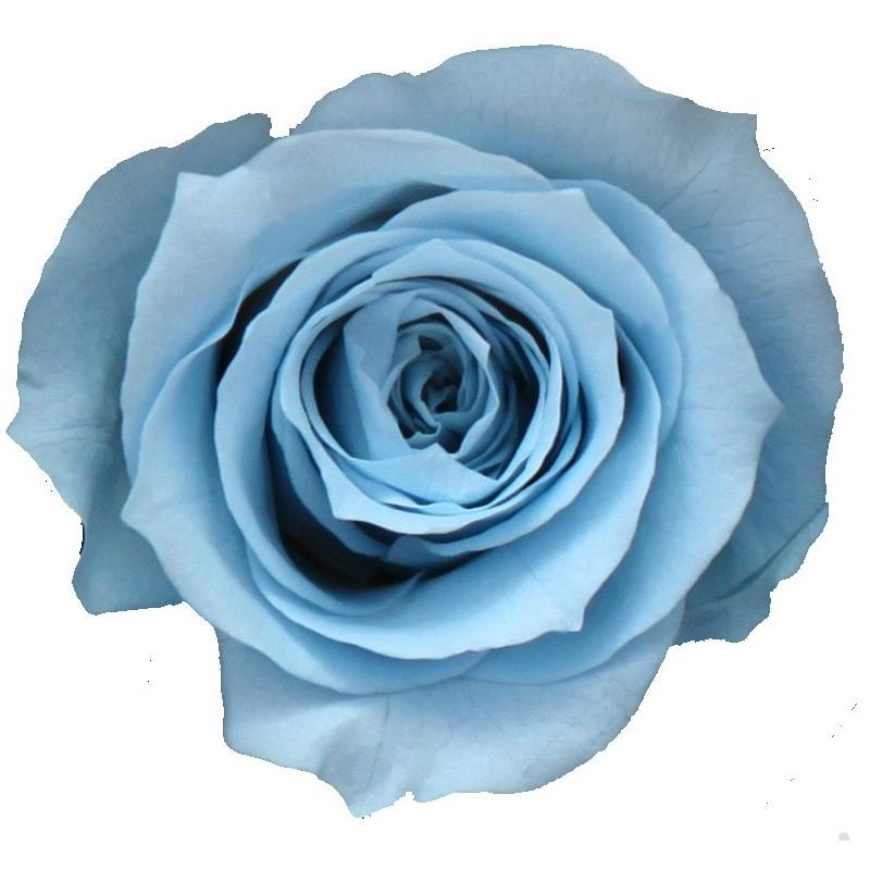 Rose stabilisée Mini  Boite de 12 têtes Bleu pastel