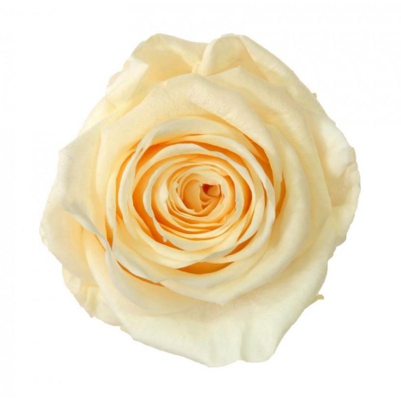 Rose stabilisée Standard Boite de 6 têtes Champagne/crème