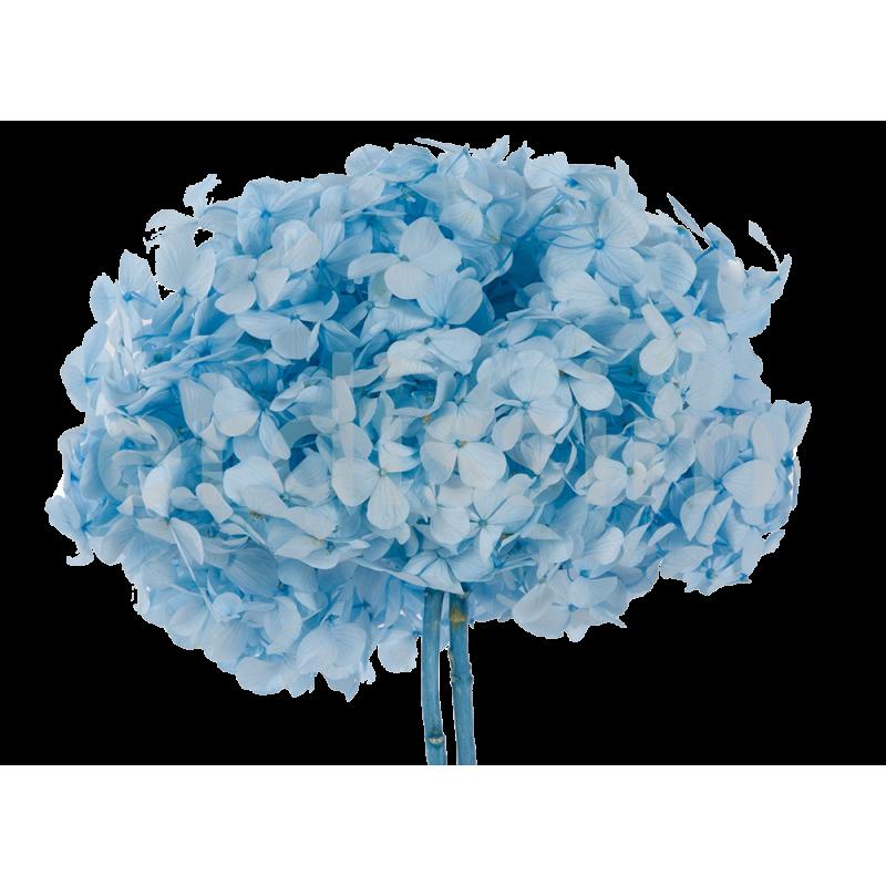Hortensia stabilisé Premium Bleu pastel