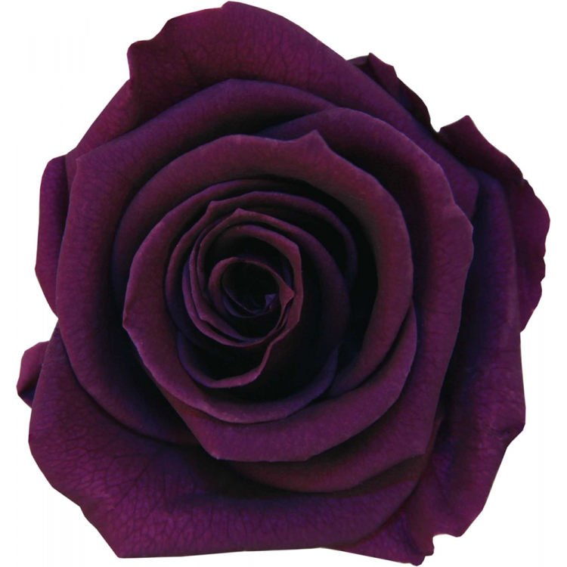 Rose stabilisée Mini Boite de 12 têtes Violine