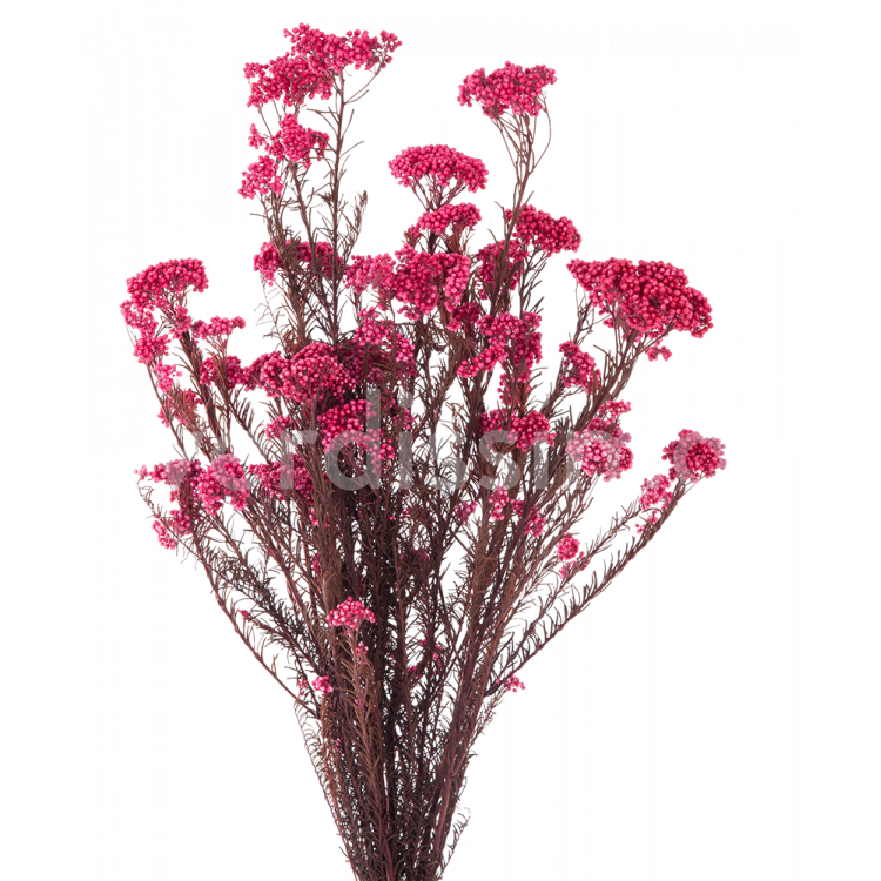 Helychrisium stabilisé 30-60 cm Rose