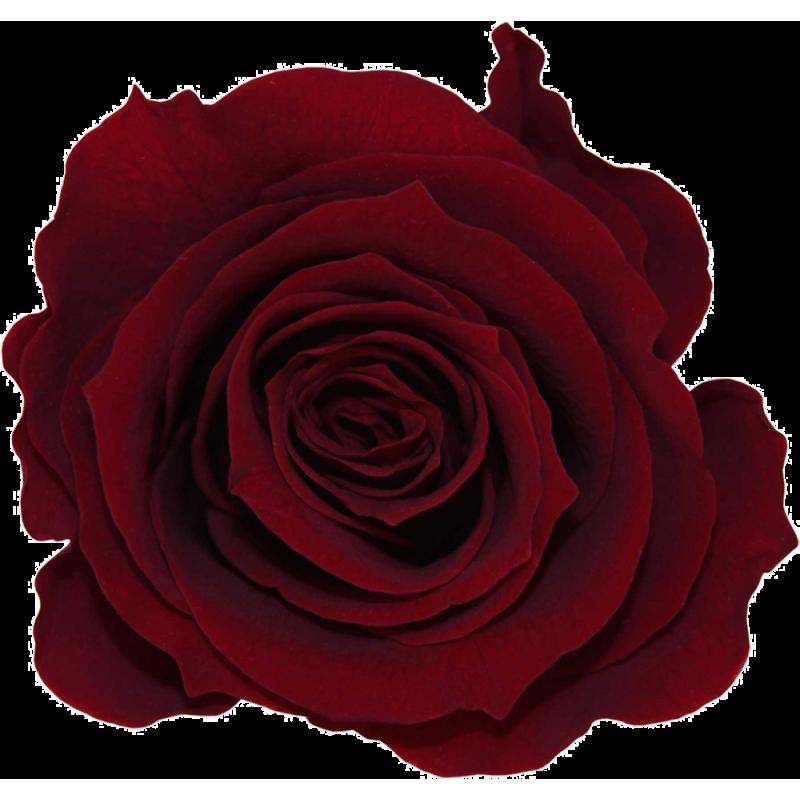Rose stabilisée Extra Boite de 6 têtes Rouge Intense