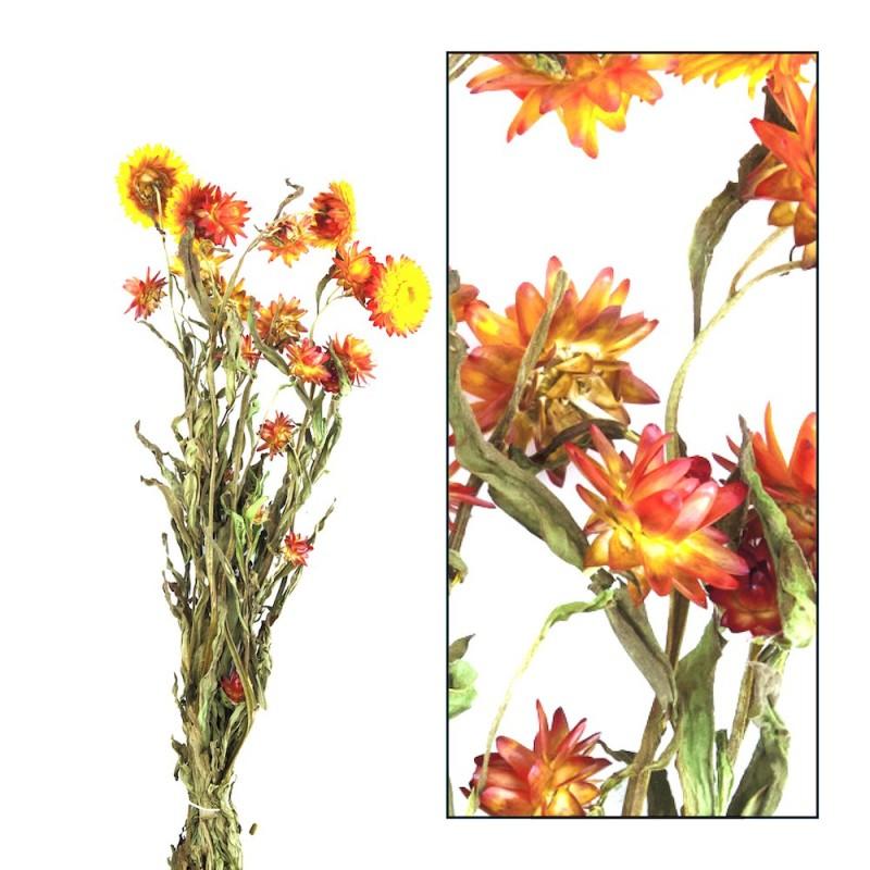 Immortelle sechée naturelle Orange 45 cm
